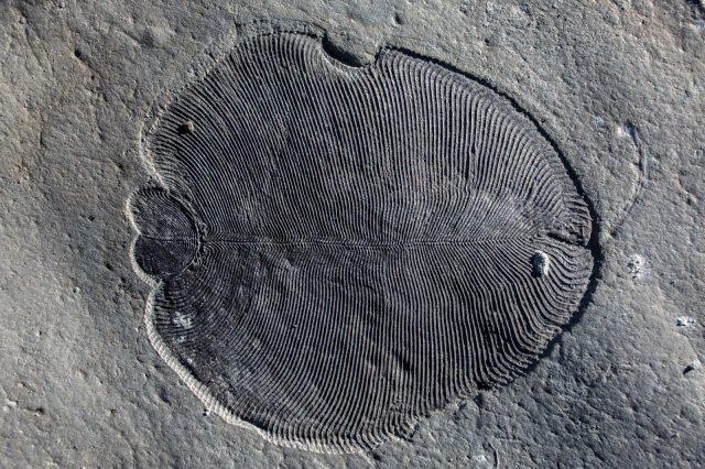 Az Ediacara bióta jellegzetes állatcsoportja, a Dickinsonia egyik megkövült példánya.