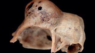 Szárnyaszegetten – Madárcsontokon megmutatkozó betegségek