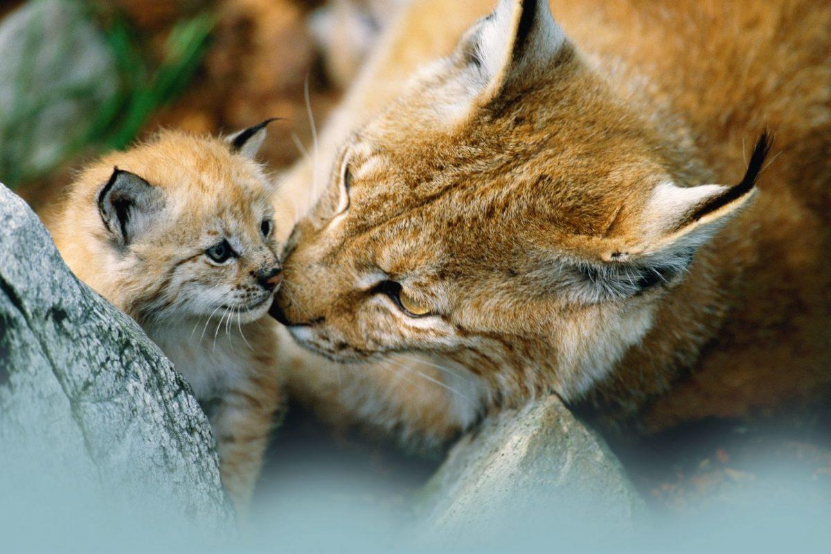 Európai vizsgálatok a nagyragadozók titkosügynökéről – A nevem Lynx, Lynx lynx